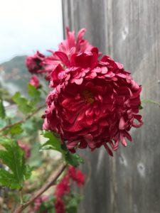 熊野古道 菊の花